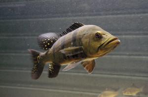 Peixes como o tucunaré acumulam metilmercúrio ao ingerir outros organismos contaminados
