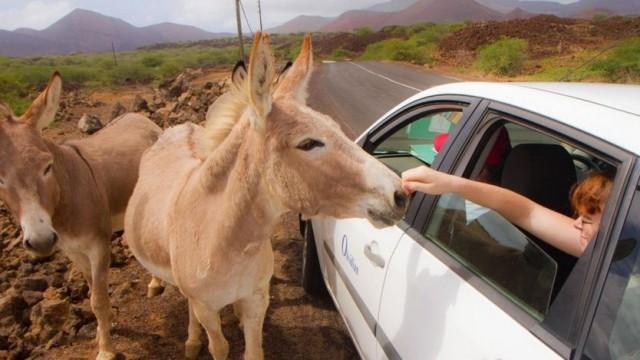 Os burros foram introduzidos na Ilha da Ascensão no início do século 19 e agora vagam pelas montanhas - Diane Selkirk