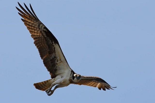 A visão aguda e a velocidade de voo são codificadas no genoma das aves de rapina, como a águia-pesqueira. Fonte: BRIAN K SCHMIDT.