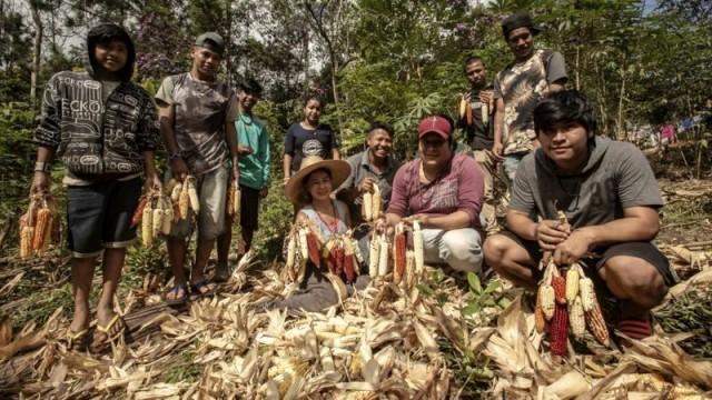 Jera Guarani, liderança da aldeia Kalipety, de chapéu (ao centro) durante colheita de milho (foto Ormuzd Alves