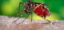 Aedes-aegypti-Foto-Governo-de-Goiás-696x494