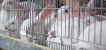 Criação-de-coelhos-para-corte