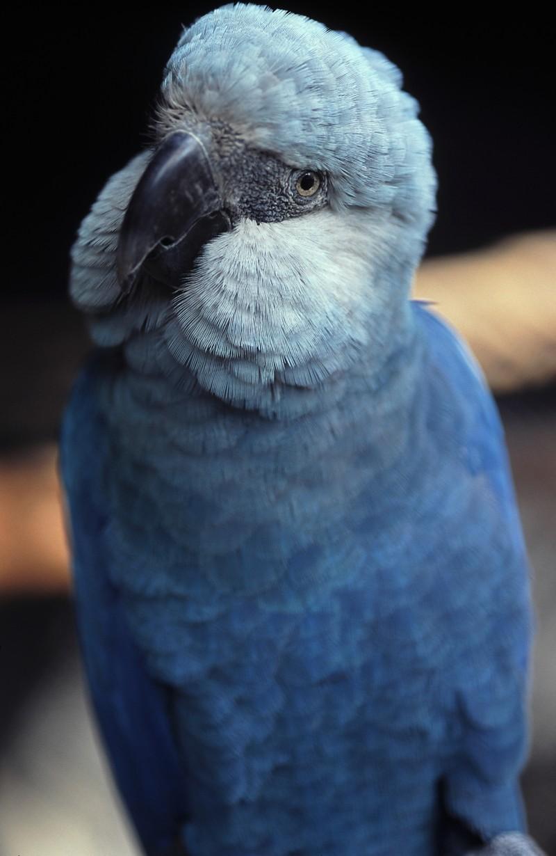 Espécies_Ararinha-azul-Cyanopsitta_spixii-cativeiro_Zoológico_de_São_Paulo=Fábio-Colombini