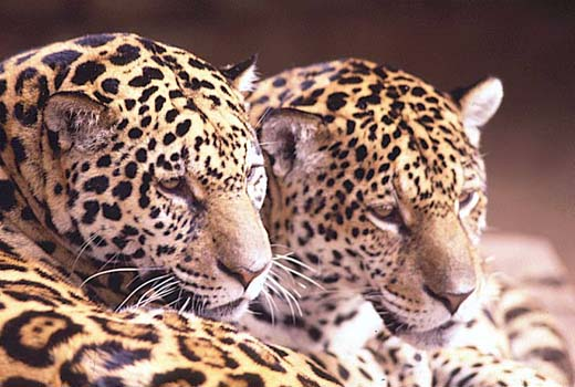As irmãs Isa e Fera reintroduzidas na natureza.