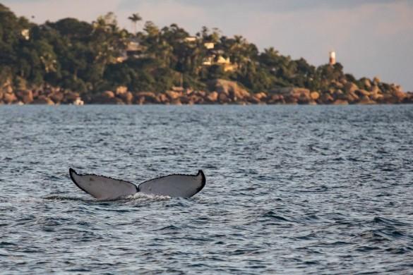 Cauda de baleia-jubarte com o farol da Ponta da Sela ao fundo. A temporada das baleias na costa brasileira ainda não terminou, mas os pesquisadores já especulam sobre os motivos de termos recebido tantos indivíduos neste ano. Algumas das hipóteses é aumento populacional, escassez de alimentos na Antártida e recuperação de antigas rotas. (foto Arlaine Francisco/Proketo Baleia à Vista)
