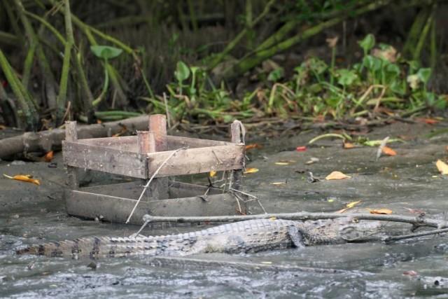 Jacarés sobrevivendo entre cocô, esgoto e lixo no valão do Itanhangá, na Lagoa da Tijuca /Foto: Mario Moscatelli