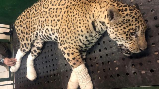 Onça-pintada teve as quatro patas queimadas em incêndio no pantanal - Foto: Corpo de Bombeiros