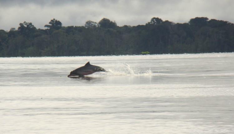O boto tucuxi é uma das espécies encontradas no rio Tapajós. Foto: Pedro Nassar/Instituto Mamirauá
