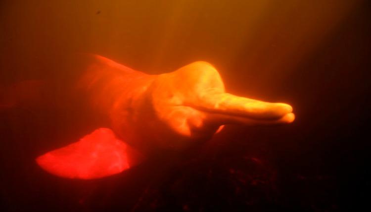 O boto cor-de-rosa também é registrado no rio Tapajós. Foto: Alan Buchi/ICMBio