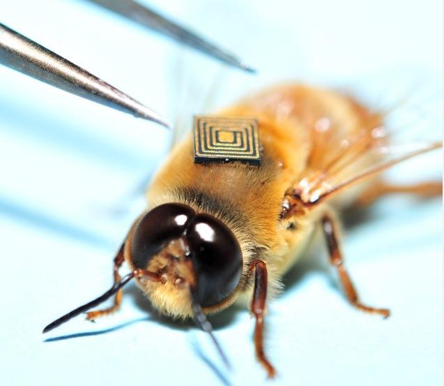 Implantação do microssensor em abelha no projeto VALE e CSIRO.