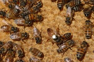 Abelha africanizada comum no Brasil (Apes Mellifera), resultado da hibridação de variedades africana e europeia, é responsável pela produção de mel comercializado (foto Eduardo Cezar)