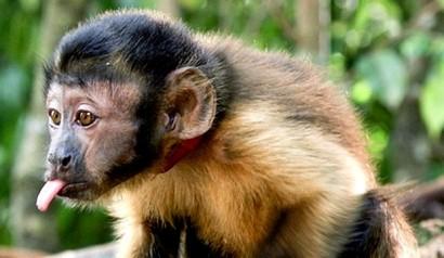 Castanha, protagonista do filme,  representado por cinco macacos-prego.