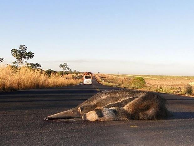 Tamanduá foi encontrado atropelado em rodovia de Mato Grosso (Foto: Divulgação/ PRF)