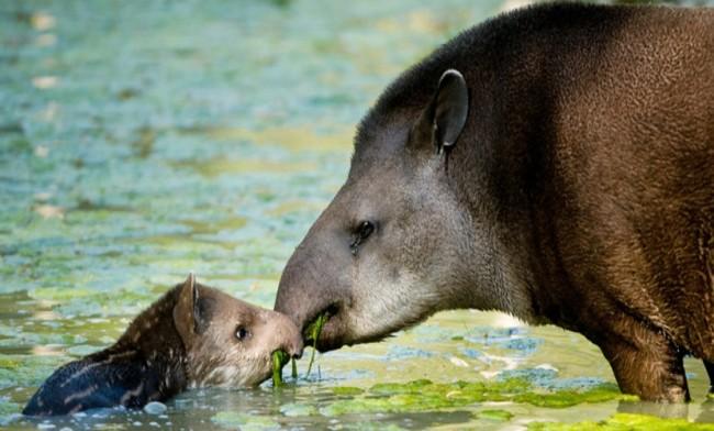 Anta com seu filhote, em área alagada do Pantanal. (Foto: Divulgação/IPÊ)