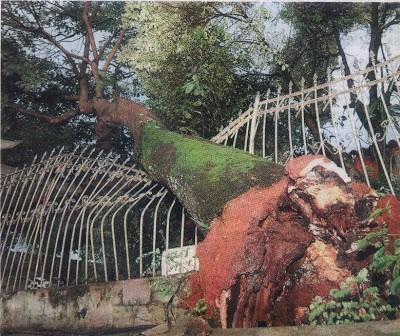 O perigo de árvores plantadas em terrenos inadequados
