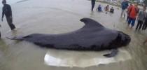 Baleia-piloto encalhada na Tailândia -  foto BBC
