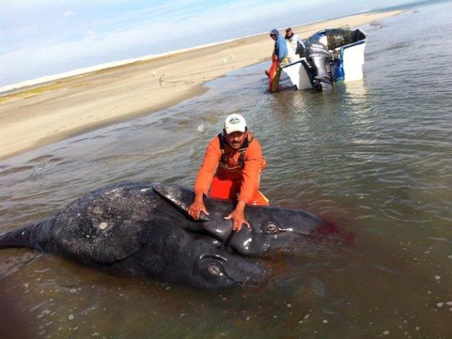 baleia-cinza-siamesa-méxico-pacífico-fukushima