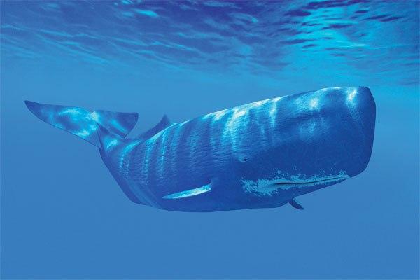 baleias-o-cachalote