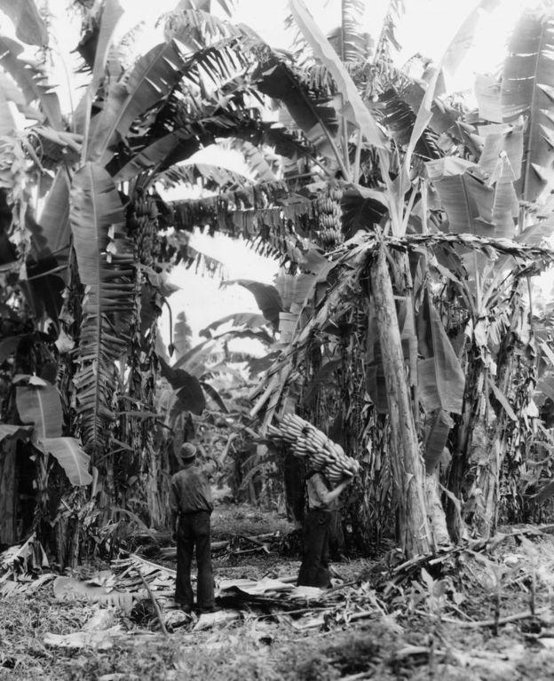 Plantação de banana na Guatemala nos anos 1950: exportação aos EUA avançou com navios refrigerados