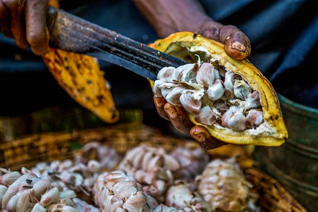 Facões afiados separam a polpa do cacau na região de Ashanti, centro de Gana. Nas plantações, é comum ver crianças manipulando esse tipo de ferramenta. (Fellipe Abreu/Superinteressante)