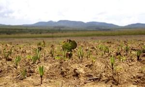 O jatobá-do-cerrado (planta maior) se destaca entre as lobeiras e os mata-pastos que crescem em plantio experimental, um mês depois de semeados (Mariana Siqueira)