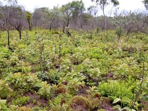A vegetação rebrota três meses após queimada controlada no interior paulista… (Giselda Durican)