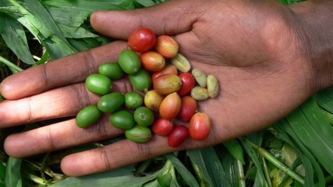 O café arábica, como esse produzido na Etiópia, está entre as diversas variedades que podem desaparecer com a mudança climática — Foto: Aaron Davis/RBG Kew