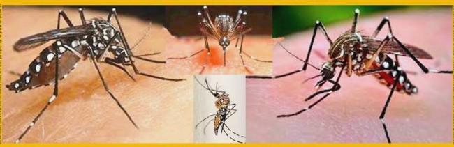 Mosquito aedes aegypti, transmissor da dengue e da malária.