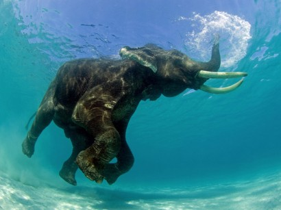 Elefante nada no lago africano (foto Jeff Yonover)
