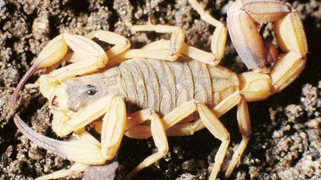Escorpião-amarelo é um dos que mais picam (Imagem Claudio Mauricio Vieira de Souza