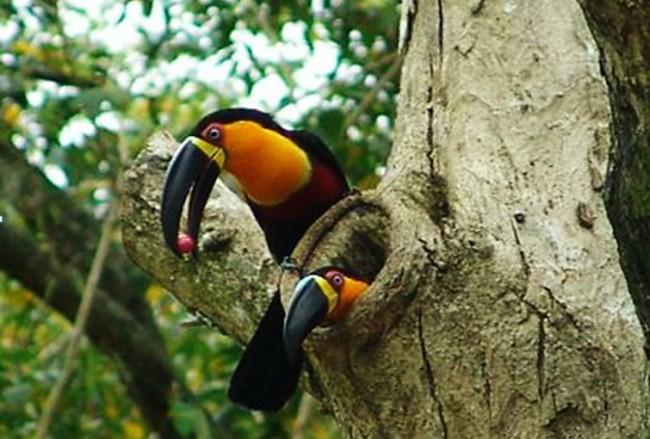 filhote-de-tucano