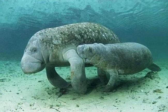 Peixes-boi estão em risco de extinção - Foto: ICMBio / Divulgação