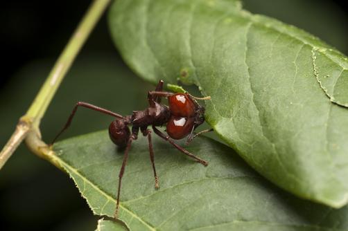 Leafcutter Ant (Atta laevigata) cutting leaf, Kavac, Venezuela
