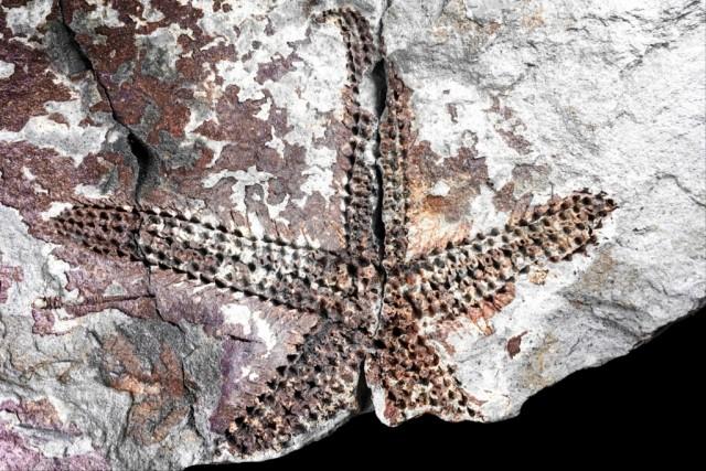 Estrela-do-mar Paranaster crucis. Foto: UFPR