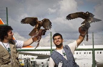 Gaviões (foto) são preparados para proteger aeroportos de urubus e carcarás. Imagem: Reprodução/Internet (em atendimento à norma legal 9.610/98_
