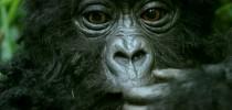 gorila robo