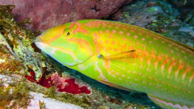 Os pesquisadores registraram 13 espécies de peixes recifais endêmicas (restritas ao local) na cordilheira até agora (crédito: João Luiz Gasparini/Divulgação)