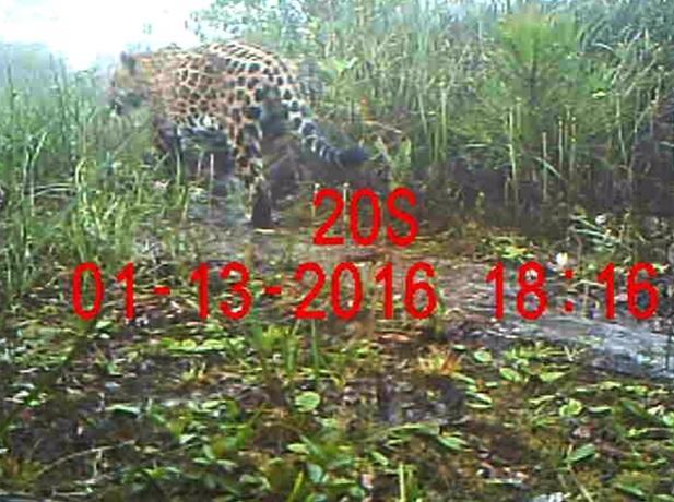 Registro fotográfico raro de uma onça-pintada (Panthera onca) no Parque Estadual Serra do Mar em dezembro de 2015 e em janeiro de 2016
