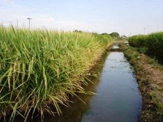 A irrigação por inundação para plantio de arroz (foto), é o sistema mais usado no Brasil. (imagem: Reprodução/Internet)