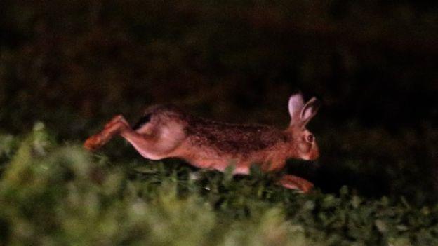 Espécie foi trazida para Argentina e Chile visando à caça esportiva e teria se proliferado pelo países vizinhos até chegar ao Brasil | Foto: José Patrício