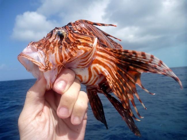 Peixe-leão coletado por pesquisadores na Bahamas, onde ele é uma espécie invasora. FOTO: Herton Escobar/Estadão