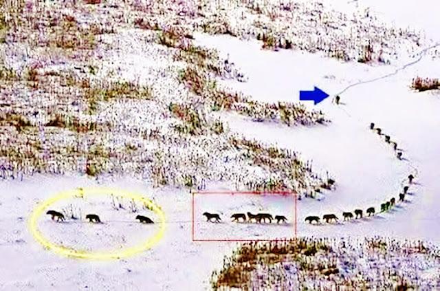 """Aprendendo com os Lobos a partir da foto: Os 3 primeiros são os mais velhos ou os doentes e marcam o ritmo do grupo. Eles são seguidos pelos 5 mais fortes que os defenderão em um ataque surpresa.No centro seguem os demais membros da alcateia, e no final do grupo seguem os outros 5 mais fortes que protegerão o grupo.Em último, sozinho, segue o lobo """"alpha"""",o líder. Em resumo, a alcateia segue ao ritmo dos anciões e sob o comando do líder que impõe o espírito de grupo não deixando ninguém para trás.foto: Cesare Brai"""