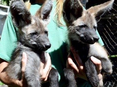 lobosguaras