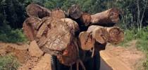 madeira_ilegal