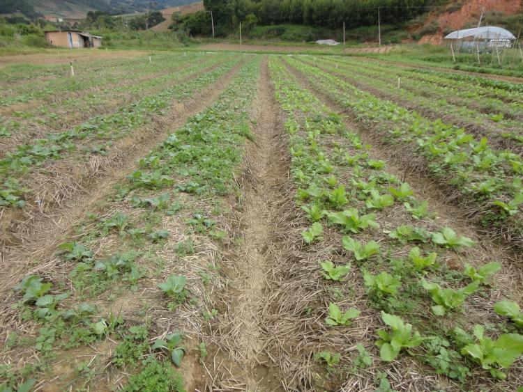 Solo bem manejado com cultivo de hortaliças sob sistema de plantio direto em Nova Friburgo (RJ). (foto: Embrapa Solos)