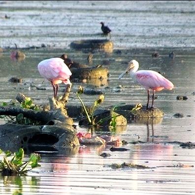 Pássaros em meio ao lixo na Lagoa da Tijuca, no início da Barra, uma das áreas nobres do Rio de Janeiro - Foto: Mário Moscatelli.