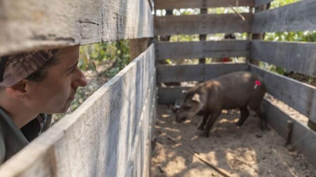 Patrícia Medici observa anta anestesiada em armadilha de pesquisa no Pantanal. Exploradora da National Geographic, ela recebeu o que é considerado o maior prêmio da conservação ambiental do mundo: o Whitley Gold Award, conferido pelo Whitley Fund for Nature. FOTO DE JOÃO MARCOS ROSA/NITRO