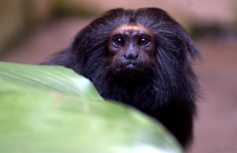 Resultado de imagem para O mico-leão-preto