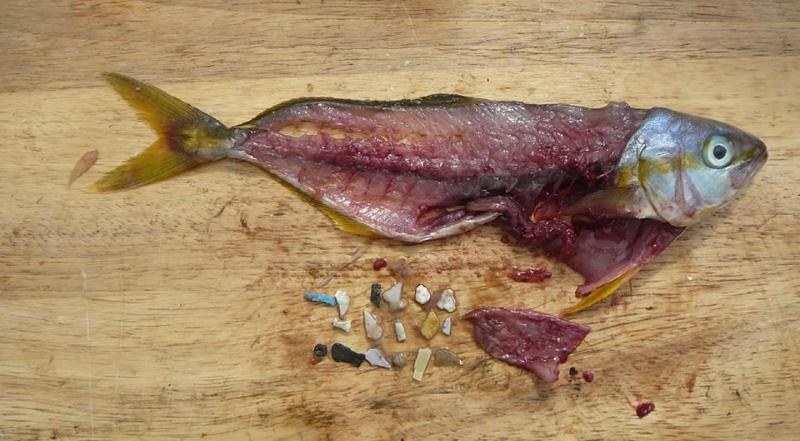microplásticos encontrados no estômagp de um peixe