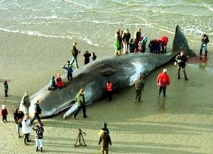 Baleia morta por 20 kg de plásticos diversos em seu estômago, em praia da Holanda.